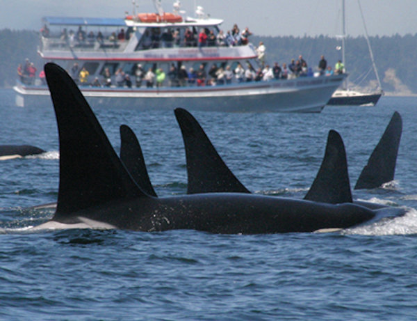 Tourist disrupting the natural habitat of Killer Whales – image via NOAA