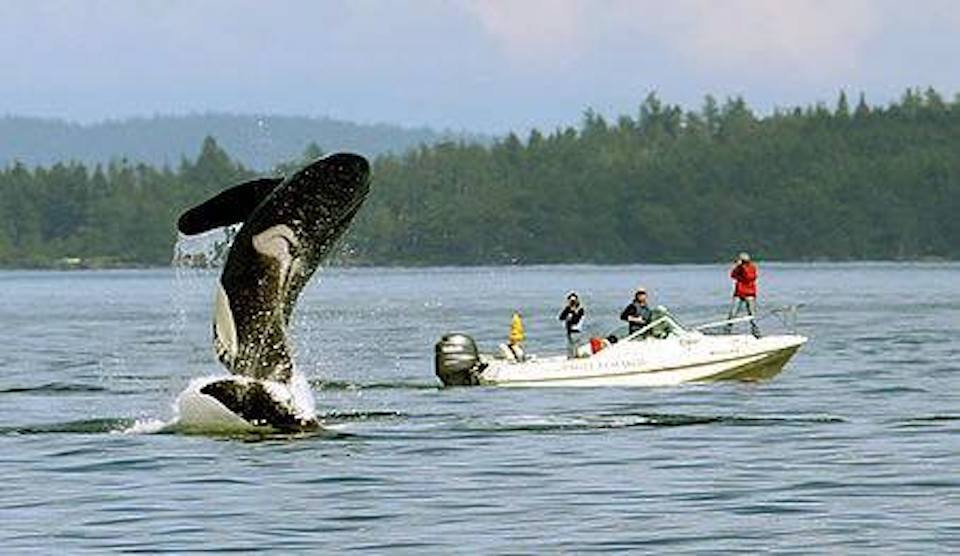 Tourists disrupting natural killer whale behaviors in the wild. – Image via WhaleResearch.com