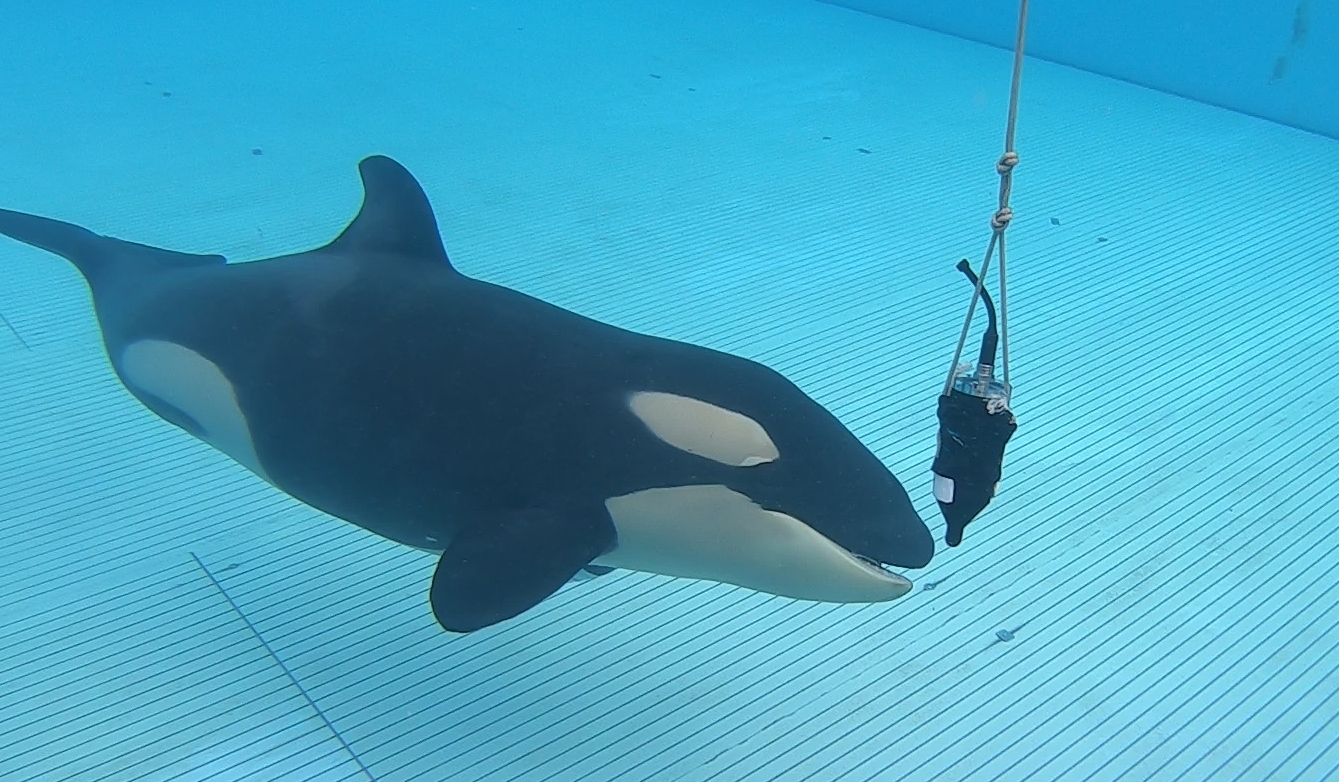 Loro Parque contributes to research on the echolocation of orcas