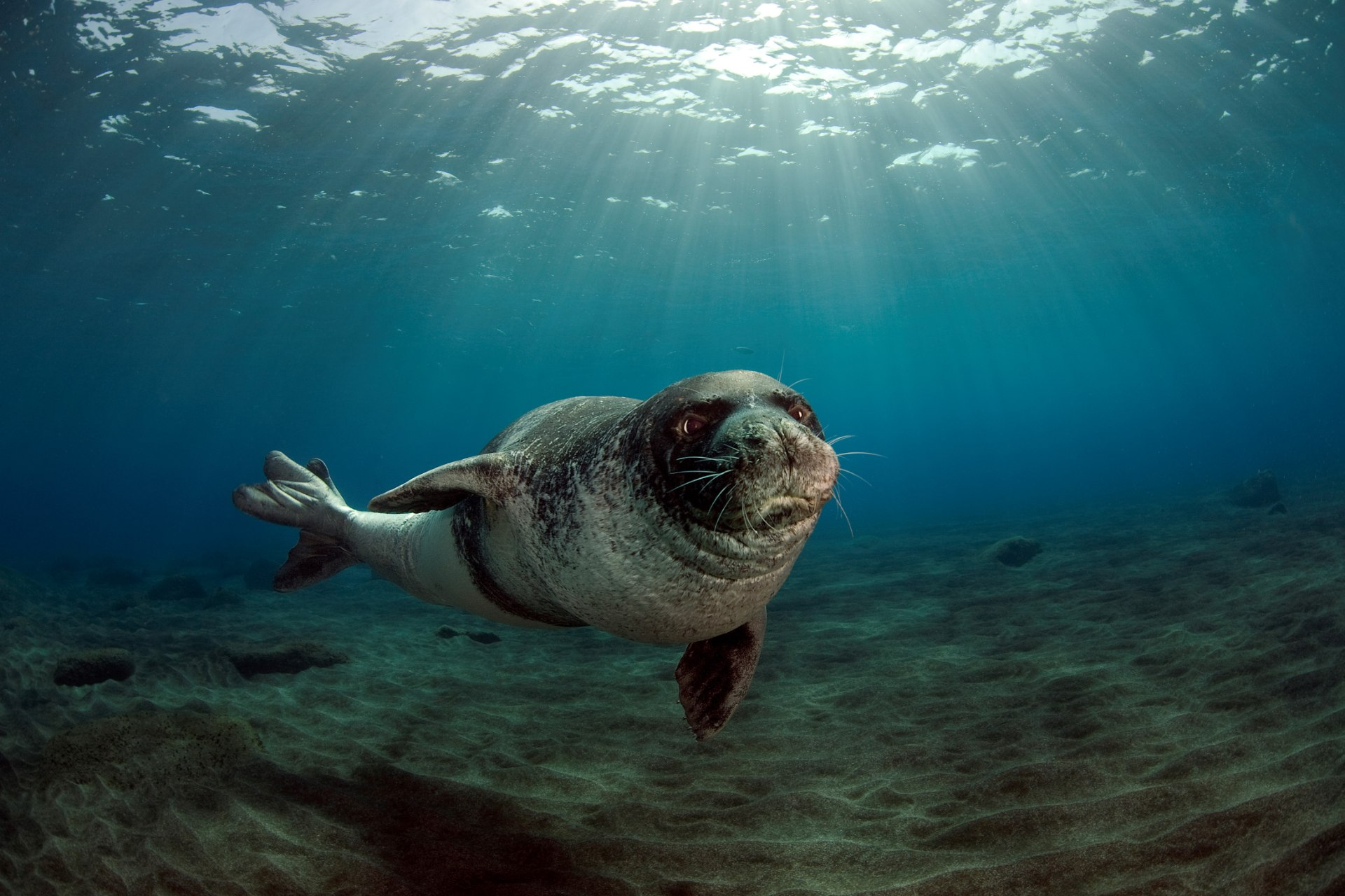 The Mediterranean Monk Seal reduces its risk of extinction and there are glimmers of hope thanks to international cooperation