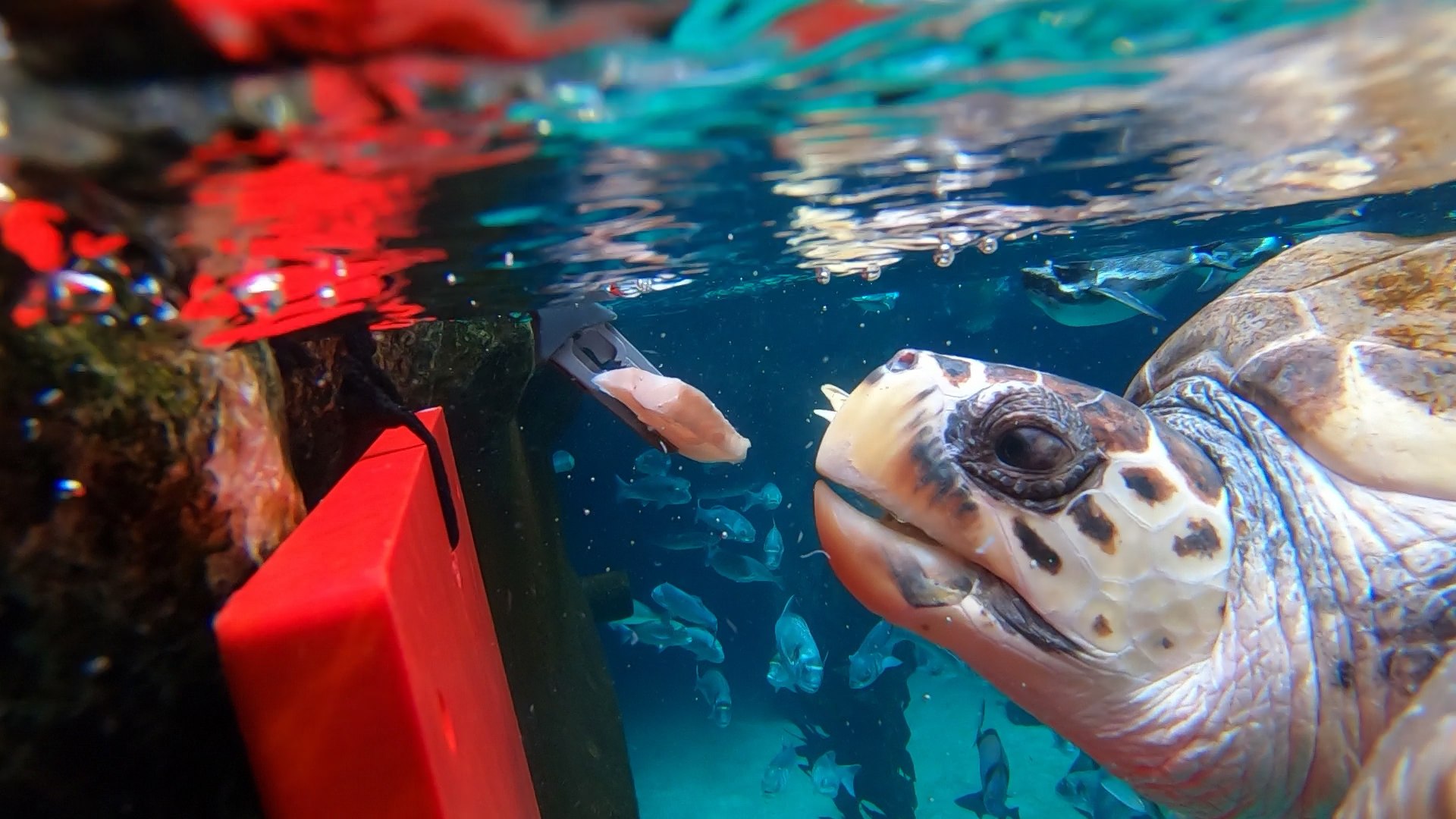 Federica the turtle is enjoying her new life at Loro Parque