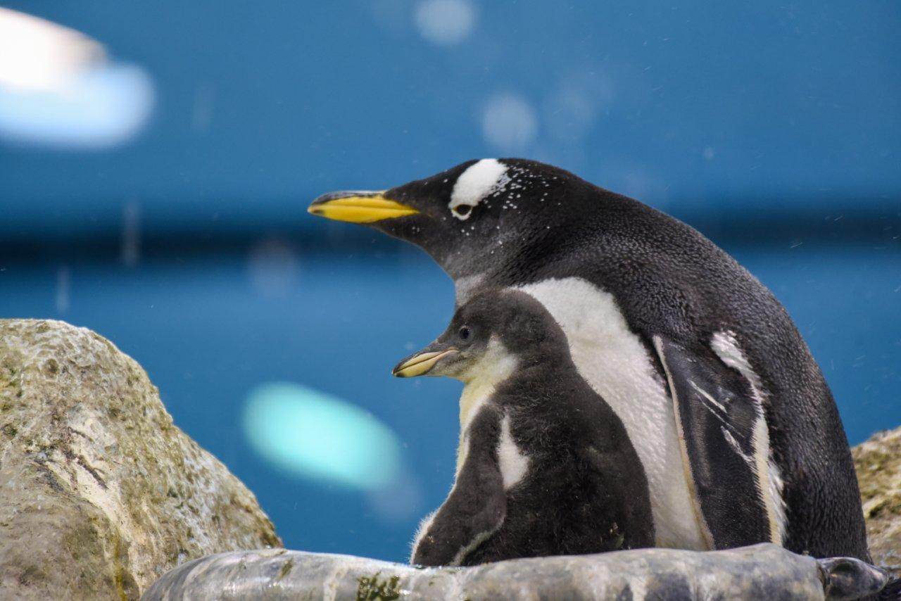 Loro Parque celebrates the year by welcoming several penguin chicks of various species