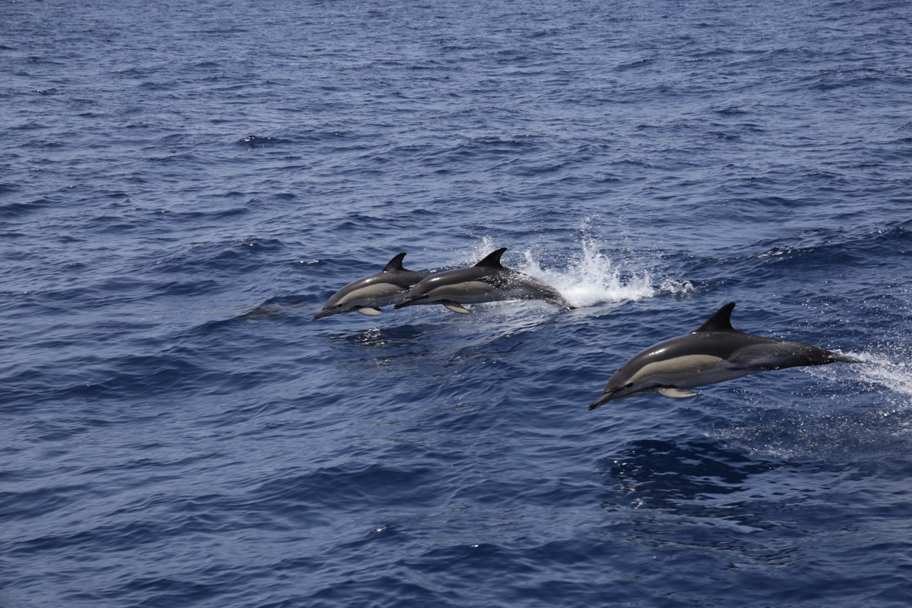The Canary Islands, 'black spot' for cetaceans: between 50 and 60 strandings per year